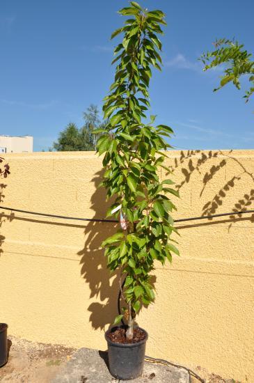 Arbres d 39 ornement - Arbre d ornement croissance rapide ...