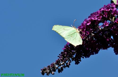 PAPILLON PHOTONUM