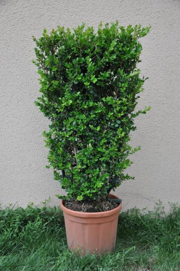 Arbustes a feuillage decoratif for Eleagnus maladie feuilles jaunes