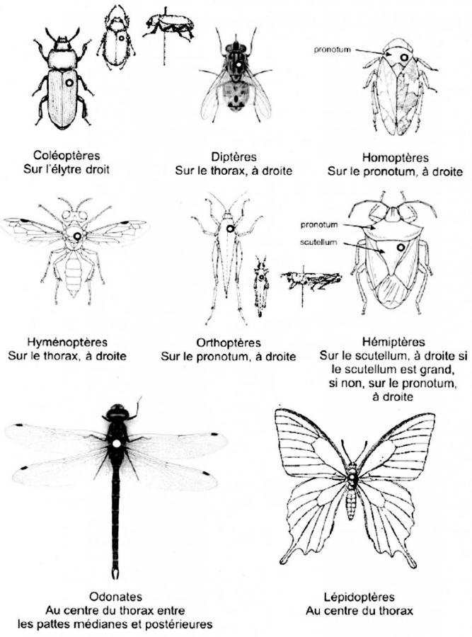 Notion étalalage insecte Dessin Juliette Aschkerman
