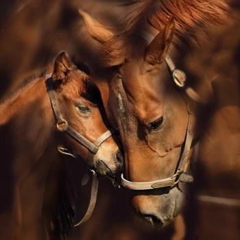 cheval d amour