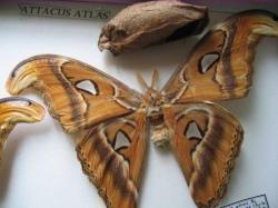 Les Phases évolutives d'Attacus atlas femelle(élevage et coll. A.M.B. Le Moulin de Prey.org)2010