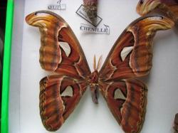 Les Phases évolutives d'Attacus atlas mâle (élevage et coll. A.M.B. Le Moulin de Prey.org)2010