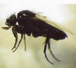 Pseudacteon curvata parasite des fourmis de feu  Photo Mlle Arrowi CADUGA Avec son aimable autorisation (Août2010)