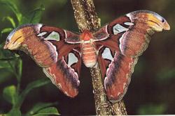 Attacus atlas photo prise par Louis Videloup en été 1998. Je le remercie vivement. Cette photo honore sa mémoire.