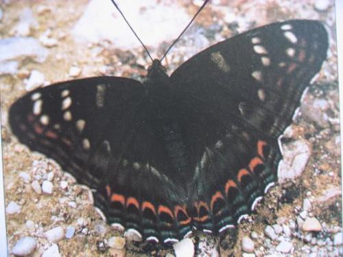 Limenitis populi le Grand Sylvain est devenu très rare Photo A.M.B VII-1989