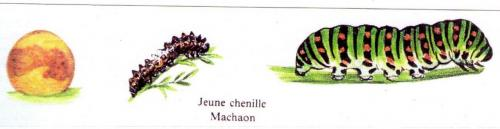 Le cycle du Machaon Phot/montage A.M.B. octobre 2007