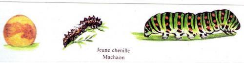 Le cycle du Machaon Phot/montage A.M.B. octobre 2007