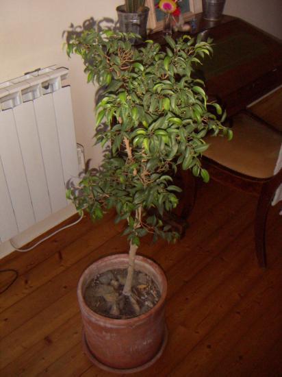 Plantes vertes en pot - 1m70 en pied ...