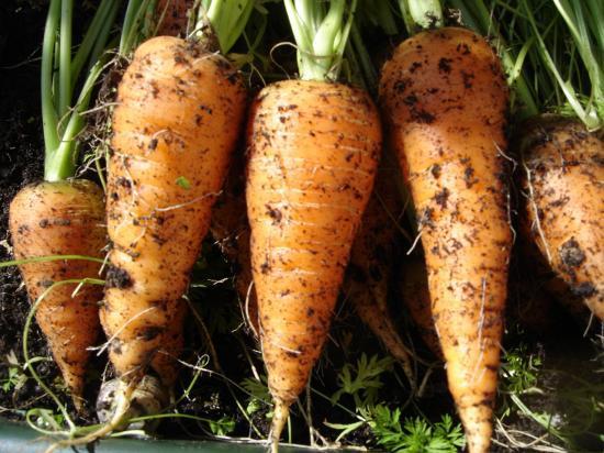 semis de carottes en godets