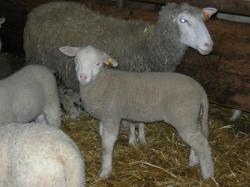 En route pour la reconquête ovine !