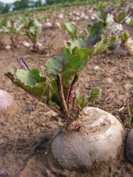 Le Loiret est le premier département producteur de betterave rouge en France.