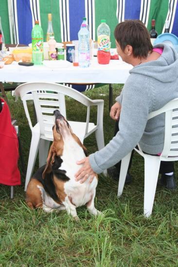 rencontre basset hound