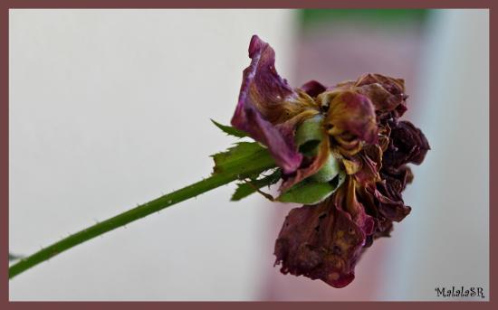 http://s3.e-monsite.com/2010/08/30/12/resize_550_550//Roses021-1.jpeg