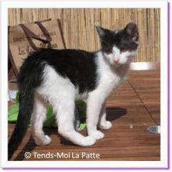 Felinedra, chaton à adopter