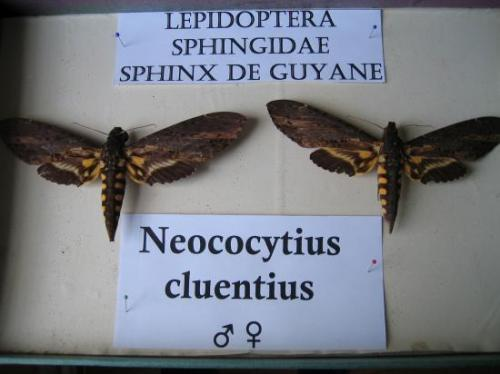 Neococytius cluentius (male and female) Coll. et Photo A.M.B. 2010
