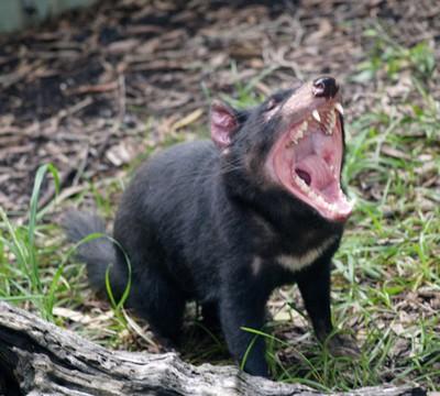 La mâchoire impressionnante du diable de Tasmanie