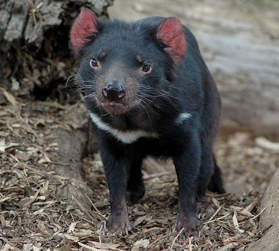 Zoologie diable de tasmanie espèce menacée Australie océanie marsupial Sarcophilus harrisii hécatombe