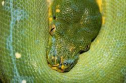 Morelia viridis manokwari