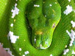 morelia viridis aru