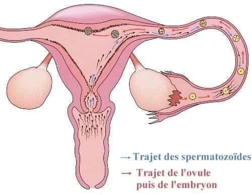 Le spermatozoïde rencontre l\'ovule