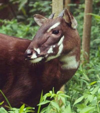 zoologie saola Laos Pseudoryx nghetinhensis Vietnam boeuf de Vu Quang voie de disparition animal rare extinction
