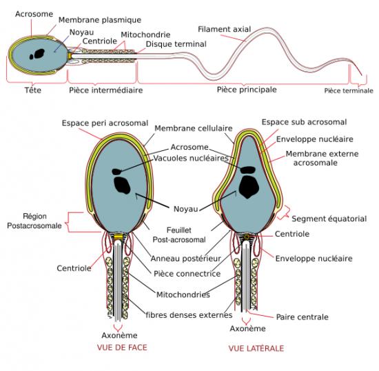 spermatozoide lent