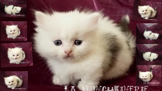 Chats nains a donner - Prix chat munchkin ...