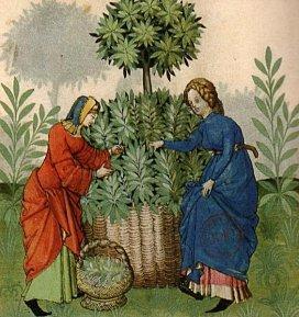 cueillette plantes aromatiques