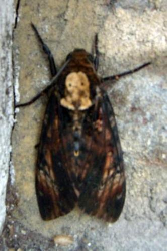 Sphinx à tête de mort photographié à Bernay par Mireille Jaouen avec son aimable autorisation (septembre 2010)