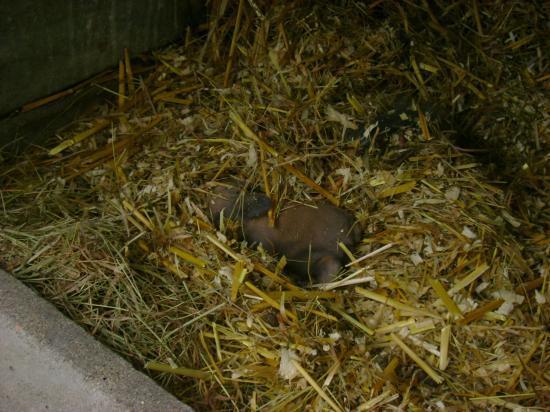 bébé chamois à 11 jours