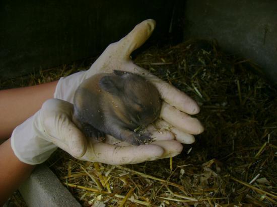 Bébé chamois à 11 jour