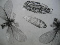 Psychidae Cette famille offre un très bel exemple de parthénogenèse. Photo A.M.B 2010