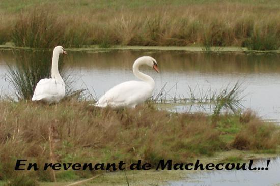 Couple de cygnes dans le marais.