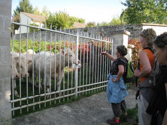 Des vaches à Frouville