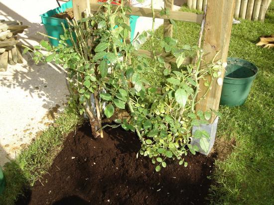 plantation de rosiers grimpant