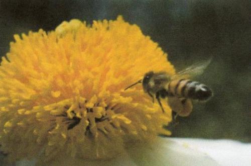 Abeille chargée de pollen Photo H.M.B.Presse Héb. 2010