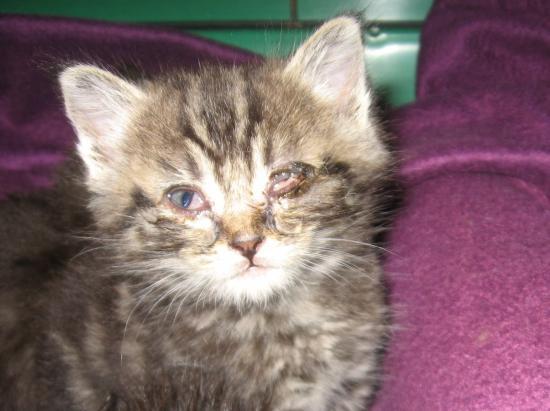 Comment soigner les yeux d 39 un chaton la r ponse est sur - Comment eliminer les puces d un chat ...