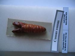 Cossus cossus différents stade de son évolution (chrysalide du mâle) Legit,Coll, et Photo A.M.B