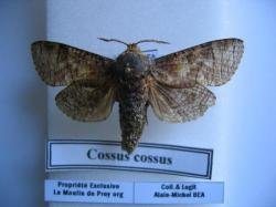 Cossus cossus différents stade de son évolution Legit,Coll, et Photo A.M.B