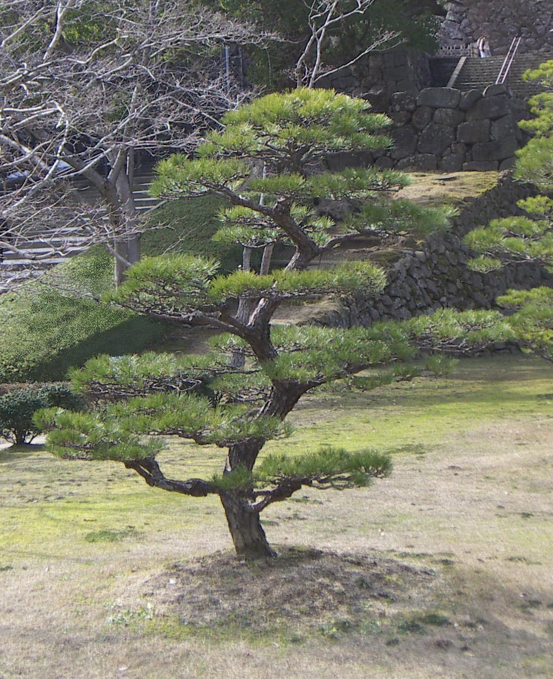 Stage de taille japonaise apprendre la taille japonaise jardinzen - Arbre taille en nuage vente ...
