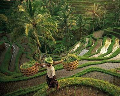 les rizières BALI Seminyak
