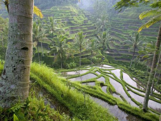 les rizières BALI Ubud