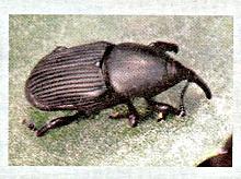 Scyphophorus acupunctatus