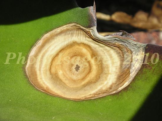 Colletotrichum
