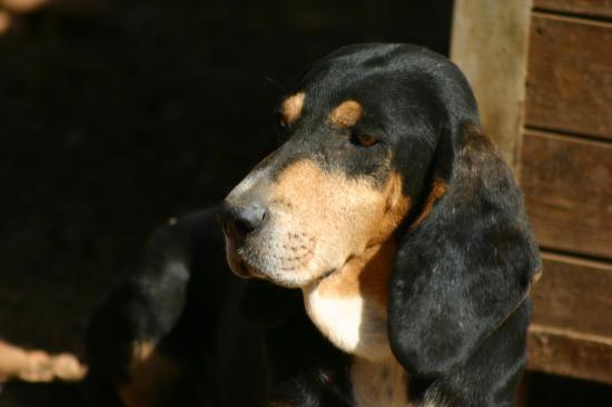 DUMBO né en 2006  superbe bruno du jura , très calin , ne chasse pas !!!