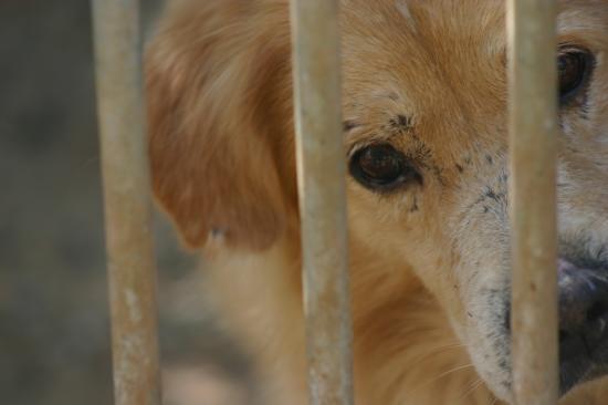 TIM né en 2006 chien retiré pour maltraitances avec son frere , ils etaient enfermés pendant plusieurs dans une cave avec du fil barbelés pour ne pas qu'ils aboient !!!  malgrè cela ils sont très afectueux mais ont besoin d 'espace et de presence continue