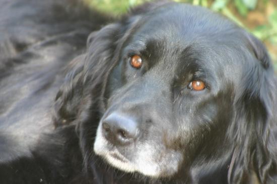 CLYDE né en 2005 superbe labrador retriever