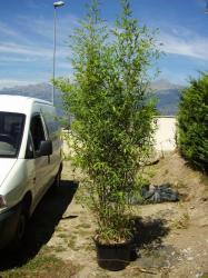 Bambous 200/220 cm