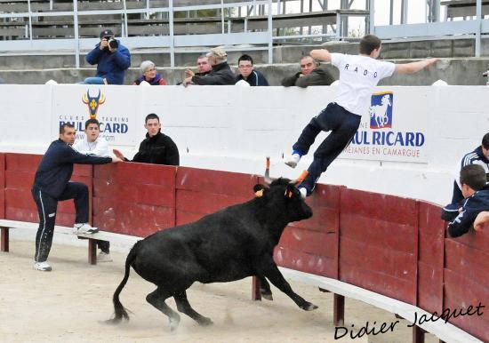 Vache de la manade St Germain